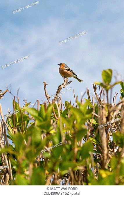 Chaffinch perched on hedge