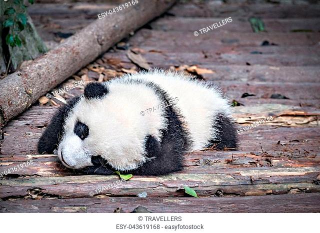 Baby of Giant Panda sleeps in the park