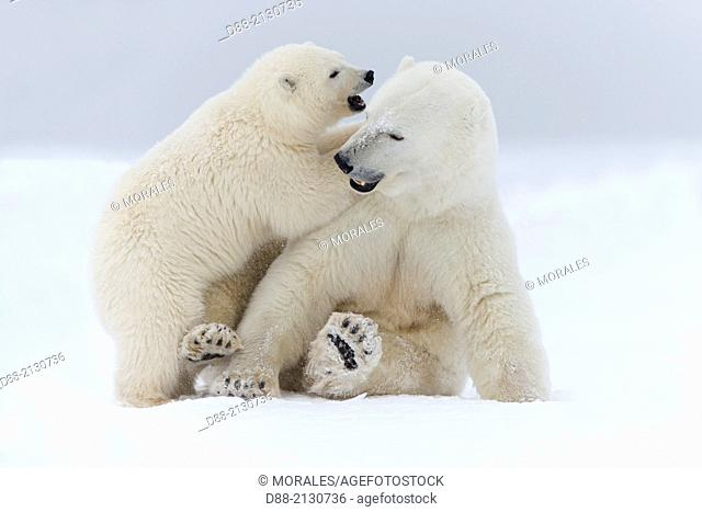 United States,Alaska,Arctic National Wildlife Refuge,Kaktovik,Polar Bear( Ursus maritimus),mother with one cub from the year along a barrier island outside...