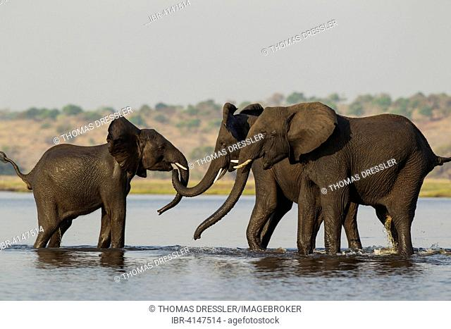 African Elephant (Loxodonta africana), females that just have been crossing the Chobe River rushed back into the water to welcome a juvenile straggler