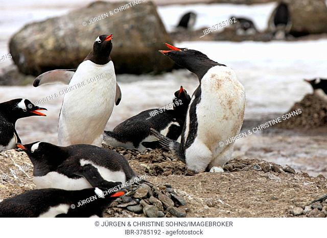 Gentoo Penguins (Pygoscelis papua), adult, group, nest, threatening, Half Moon Island, Antarctica