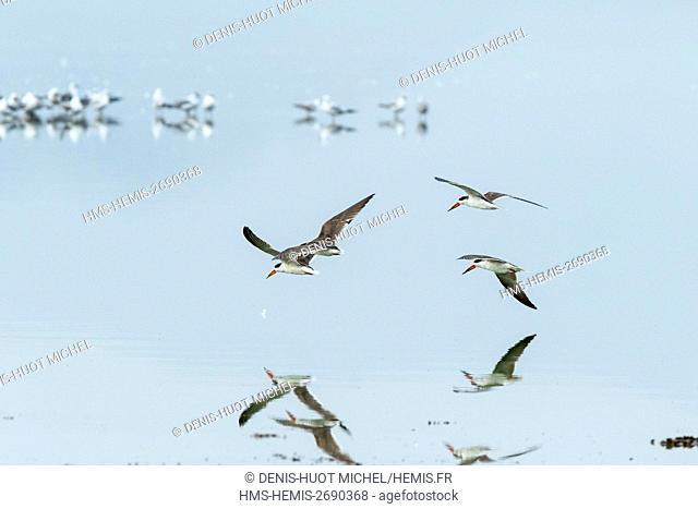 Kenya, Soysambu conservancy, Elementeita lake, african Skimmer (Rynchops flavirostris)