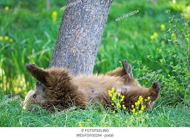 European Brown bear Ursus arctos cub lying in grass, close-up