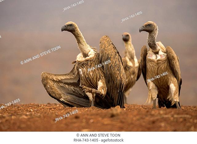 Whitebacked vultures (Gyps africanus) moving in to feed, Zimanga private game reserve, KwaZulu-Natal, South Africa, Africa