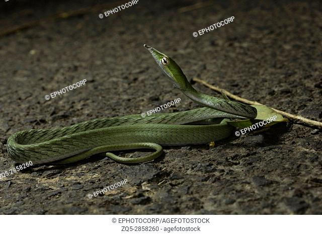 Green vine snake, Ahaetulla nasuta, Aarey Milk Colony, INDIA. The green vine snake is diurnal and mildly venomous. The reptile normally feeds on frogs and...