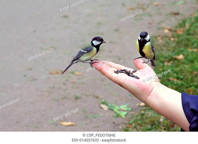 Tit birds