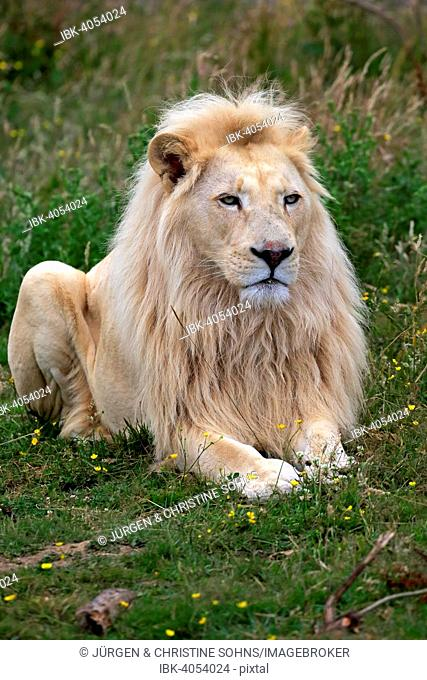 Lion (Panthera leo), adult male, white lion, colour mutation, native to Africa, captive, England, United Kingdom