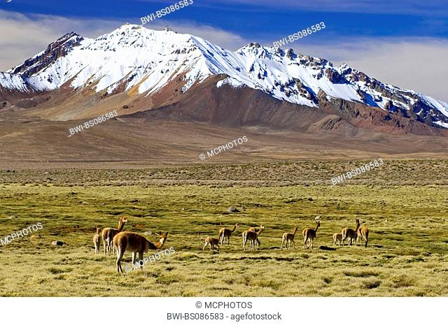 vicuna (Vicugna vicugna), grazing on a bofedal in front of Cerro de Quisiquisini (5518 m) volcanoe, Chile, Lauca National Park