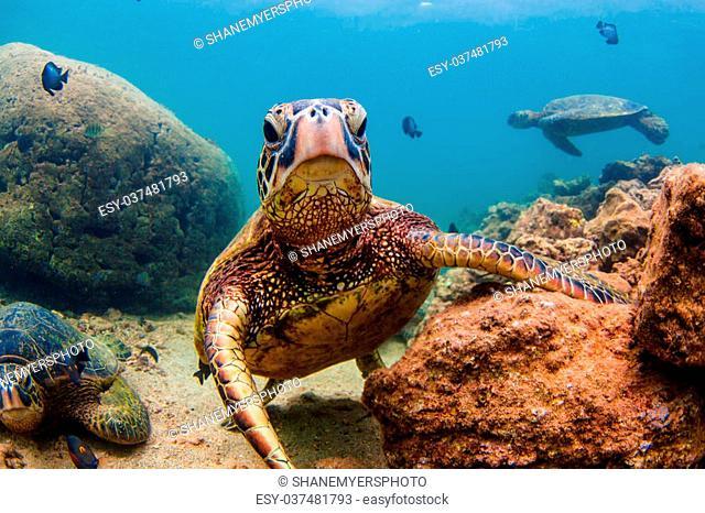 An endangered Hawaiian Green Sea Turtle cruises in the warm waters of the Pacific Ocean in Hawaii