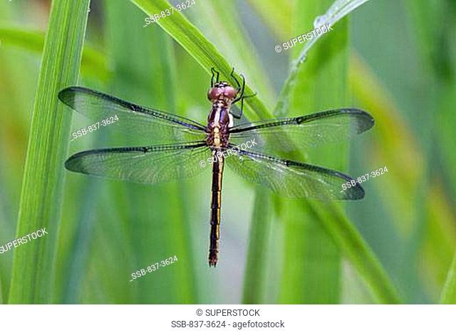 Close-up of a Bar-Winged Skimmer Libellula axilena on leaves