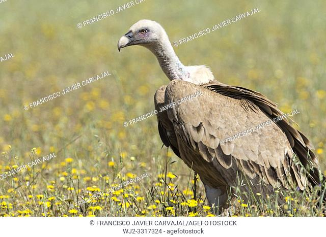 Griffon vulture (Gyps fulvus) in a meadow in Extremadura, Spain