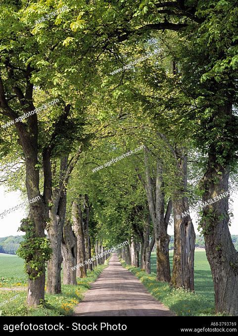 Alley with chestnut trees. Södermanland, Sweden