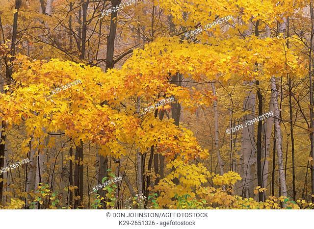 Sugar maple woodland in autumn colour, nar Sandfield, Ontario, Canada