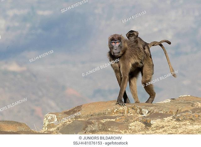 Gelada Baboon (Theropithecus gelada). Adult female with infant on her back walking on a rock. Ethiopia