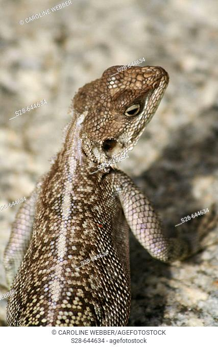 Agama Lizard in Serengeti National Park, Tanzania