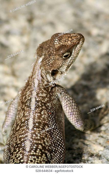 Agama Lizard in Serengeti National Park, Tanzania