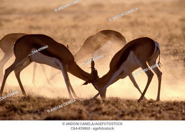 Springboks (Antidorcas marsupialis) fighting. Namib Desert. Namibia