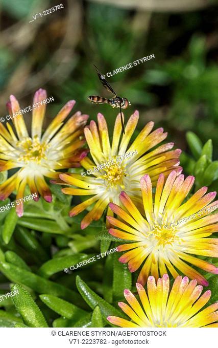Elongate Aphid Fly (Baccha elongata) Hunting near Ice Plant (Delosperma cooperi) Flower
