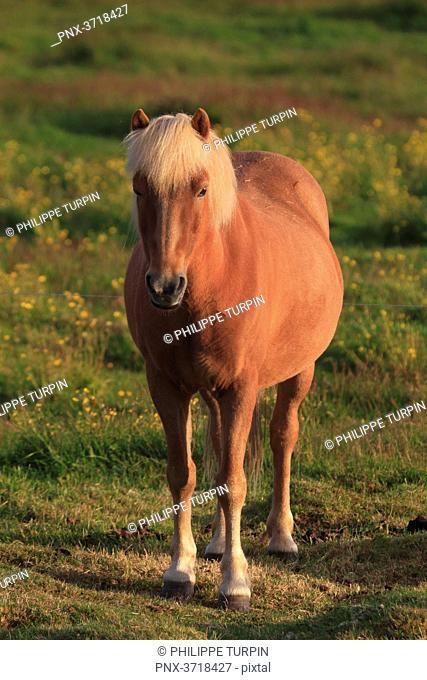 Islande, Sudurland. Island horse