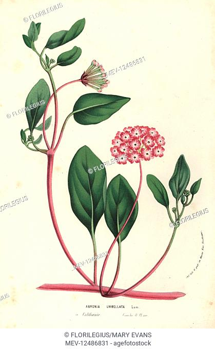 Pink sand verbena, Abronia umbellata. Handcoloured lithograph from Louis van Houtte and Charles Lemaire's Flowers of the Gardens and Hothouses of Europe