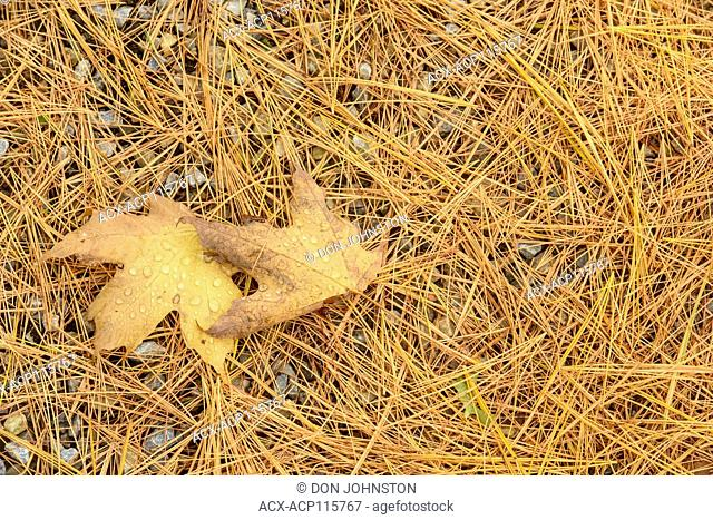 Fallen pine straw and maple leaves, Perivale, Manitoulin Island, Ontario, Canada