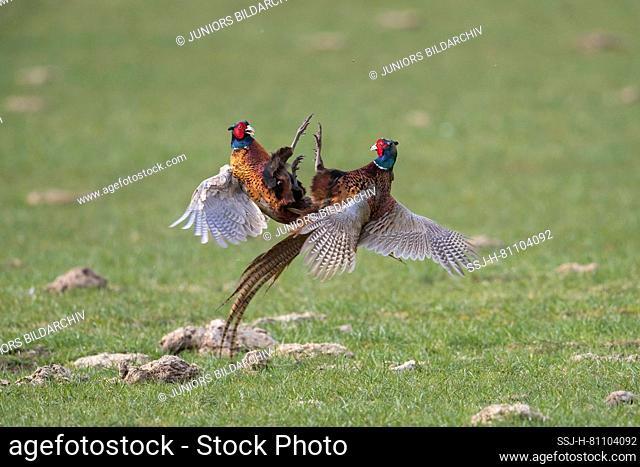 Pheasant, Common Pheasant (Phasianus colchicus). Two cock birds fighting. Germany