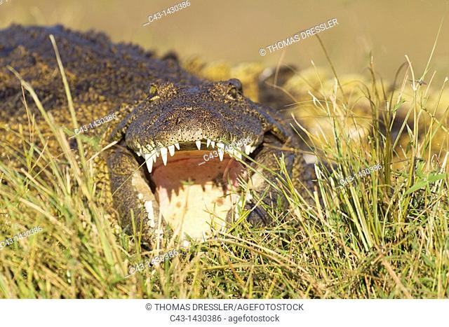 Nile Crocodile Crocodylus niloticus - Basking in the evening at the bank of the Chobe River  Chobe National Park, Botswana