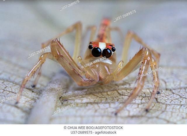 Jumping spider. Image taken at Kampung Skudup, Sarawak, Malaysia