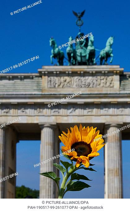 """17 May 2019, Berlin: A sunflower stands in the sun in front of the Brandenburg Gate. The German Farmers Association has called for an action day """"""""We make the..."""