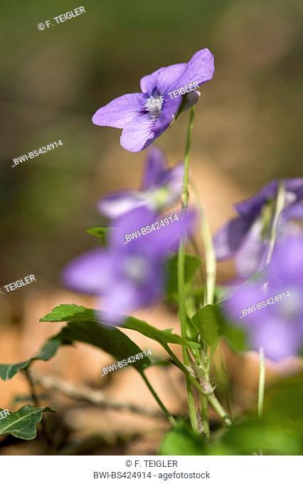 Bavarian violet (Viola bavarica, Viola x bavarica), flower, Germany