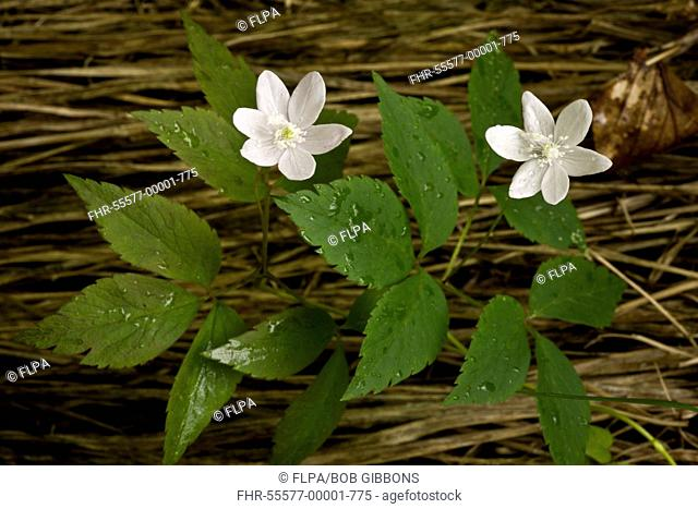Three-leaved Anemone Anemone trifolia flowering, growing in alpine beech woodland, Slovenia, june