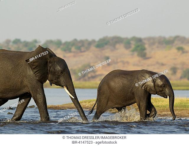 African Elephant (Loxodonta africana), female with calf have been crossing the Chobe River, Chobe National Park, Botswana