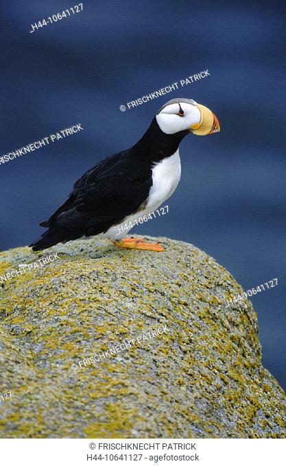 10641127, Alaska, clown bird, one, Fratercula corniculata, high, portrait format, Horned Puffin, Hornlund, coast, sea, Papgei