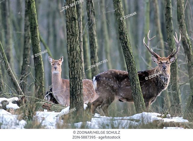 Unterart: Dybowski-Sika - Sikahirsch und Sikatier stehen in einem Erlenwald im Winter - (Sikawild) / Subspecies: Dybowski Sika Deer stag and hind standing in an...