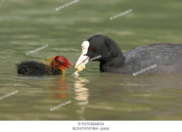 blaesshuhner, atra, blaesshuhn, bird, biddy, animal