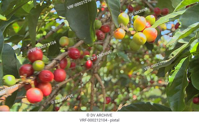Coffee beans grow on a coffee plantation in the tropics