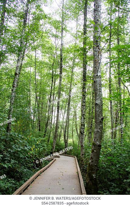 A wooden walkway through West Hylebos Wetlands in Federal Way, Washington, USA