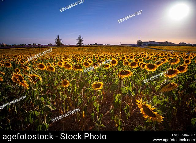 Huge sunflower fields in the Provence France - travel photography