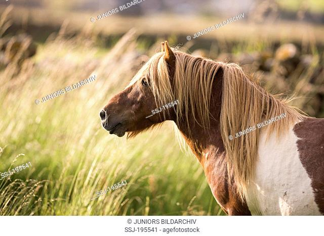 Shetland Pony. Portrait of skewbald stallion. Shetlands, Unst