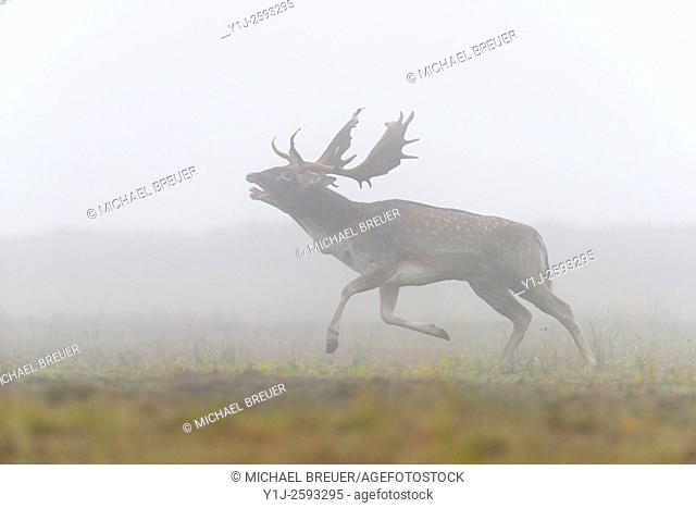 Running Fallow Deer (Cervus dama) on misty morning, Autumn, Hesse, Germany, Europe