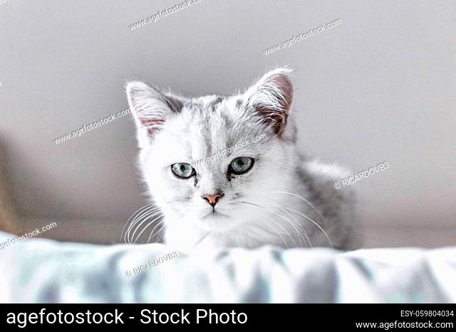 Cat with white puppy, blue eyes behind a cloth