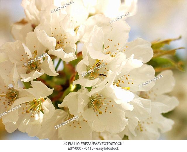 Cherry Prunus avium
