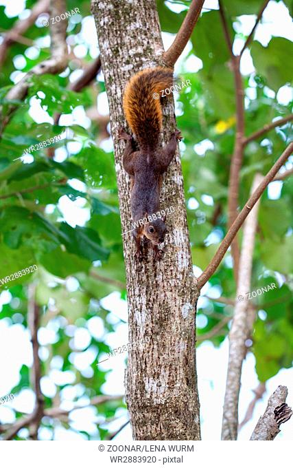 Red-tailed squirrel / Costa Rica / Cahuita