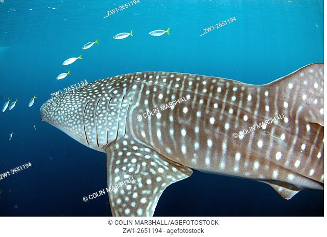 Whale Shark (Rhincodon typus) surrounded by small fish, Cenderawasih (Bird of Paradise) Bay, West Papua, Indonesia