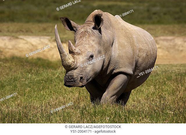 White Rhinoceros, ceratotherium simum, Female, Nakuru Park in Kenya