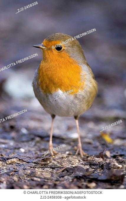 European robin (Erithacus rubecula), United Kingdom