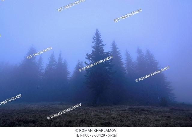 Spruce trees in fog in the Carpathian Mountain Range, Ukraine