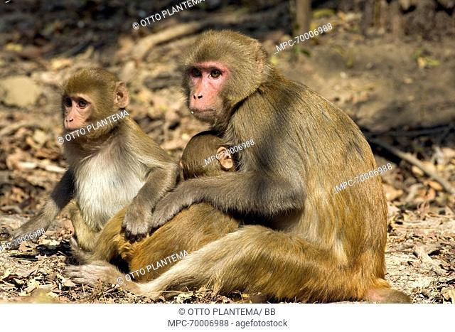 Rhesus Macaque (Macaca Mulatta) mother with two young, Keoladeo National Park, India