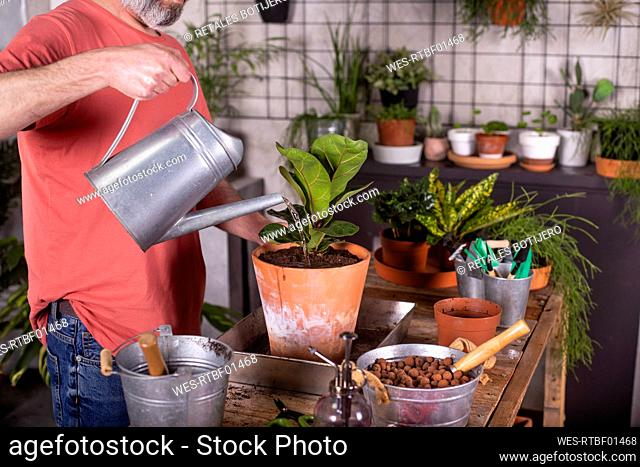 Mature man watering fiddle-leaf fig plant at nursery