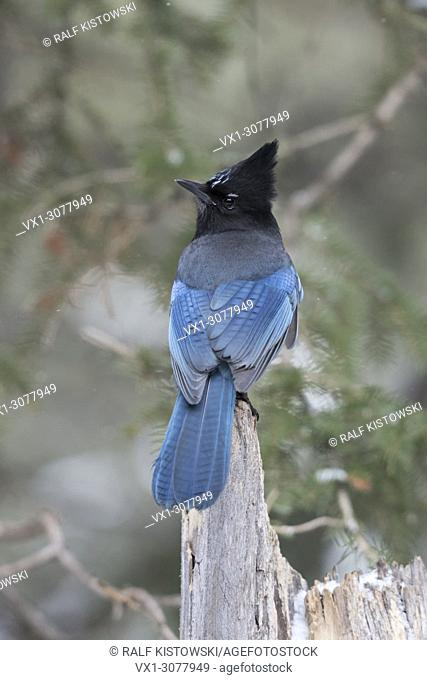 Steller's Jay ( Cyanocitta stelleri ) in winter, backside view, perched on an old rotten tree stump, Yellowstone NP, USA.